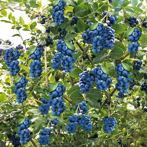 Голубика  Лесное сокровище, семена изображение 3 артикул 5977
