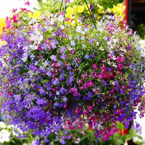 Лобелия Каскад, смесь окрасок изображение 1 артикул 69946