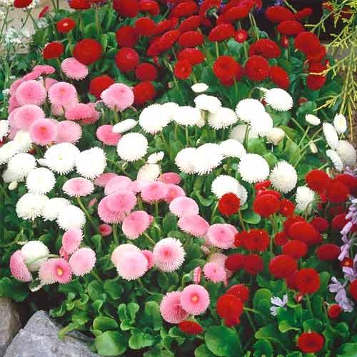 Маргаритка Весна заснеженная