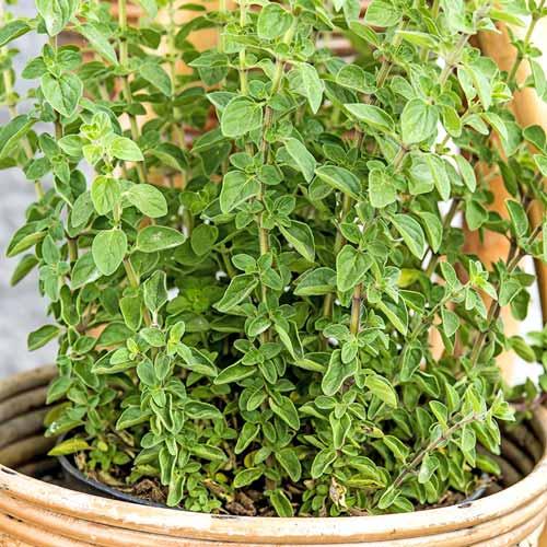 Майоран садовый Тоскана изображение 1 артикул 74006