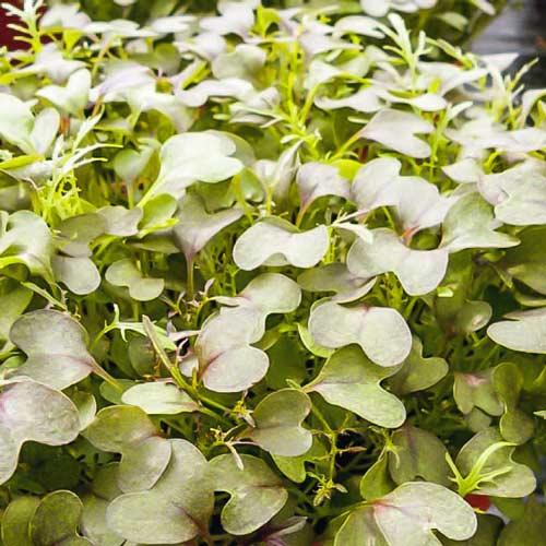 Микрозелень Капуста японская Мизуна изображение 1 артикул 69904