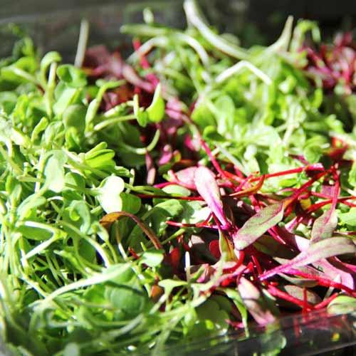 Микрозелень Салатная, смесь семян изображение 1 артикул 65275