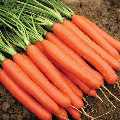 Морковь Красный великан изображение 1 артикул 65677