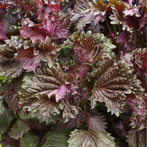 Перилла кустарниковая Пурпурная изображение 1 артикул 71500