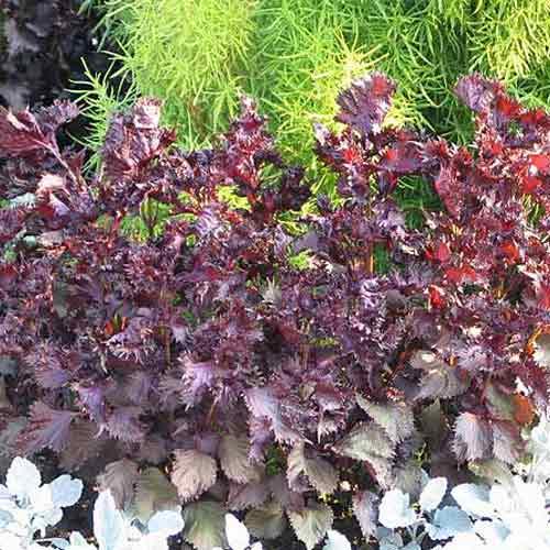 Перилла кустарниковая Пурпурная изображение 3 артикул 71500