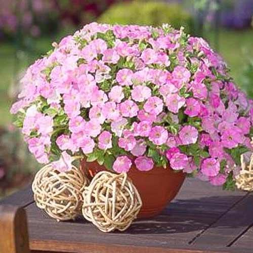 Петуния ампельная Розовый бриллиант F1, семена изображение 1 артикул 66123