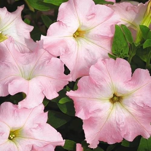 Петуния ампельная Розовый бриллиант F1, семена изображение 2 артикул 66123