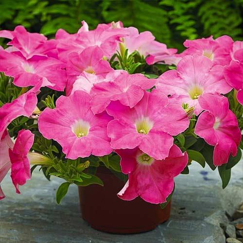 Петуния Рамблин ярко-розовая F1 изображение 1 артикул 71532