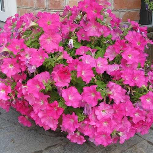 Петуния Рамблин ярко-розовая F1 изображение 3 артикул 71532