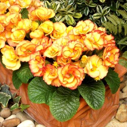 Примула махровая Розанна абрикосовая F1 изображение 1 артикул 65897