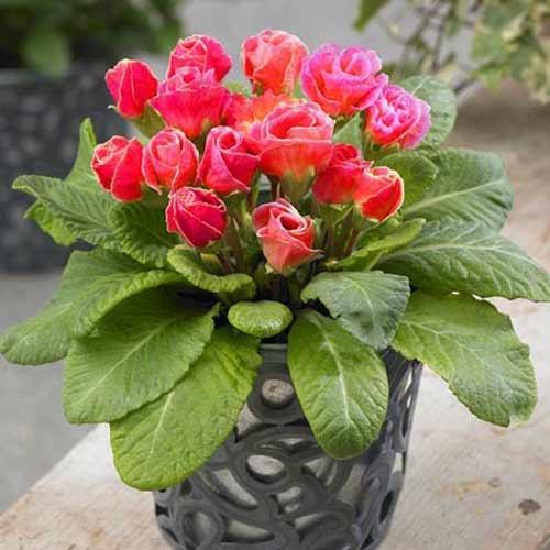 Примула махровая  Розанна красная F1 изображение 1 артикул 65900
