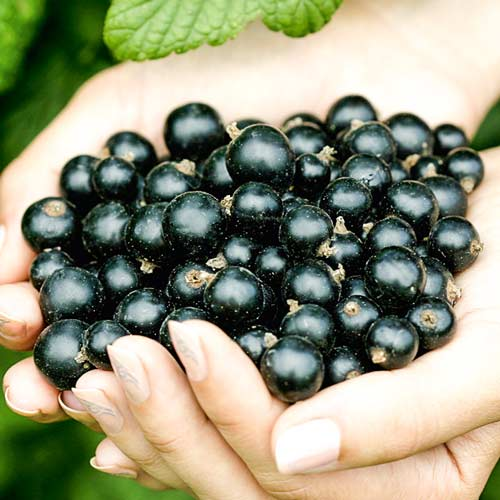 Смородина черная Рубен изображение 2 артикул 7580