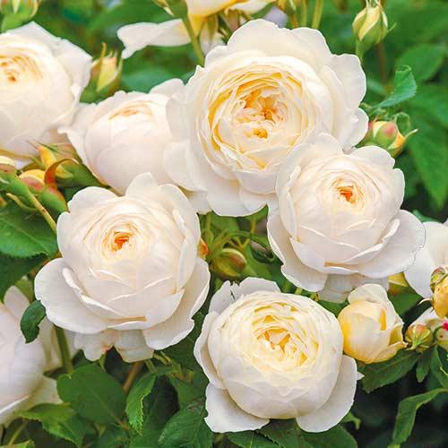 Роза английская Клэр Остин изображение 1 артикул 2216