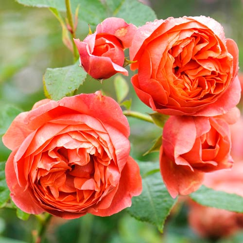 Роза английская Саммер Сонг изображение 1 артикул 2226