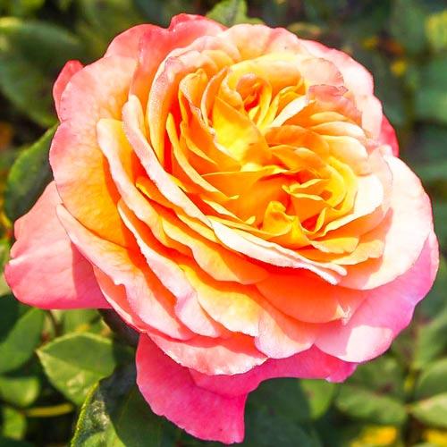 Роза чайно-гибридная Августа Луиза изображение 1 артикул 2208