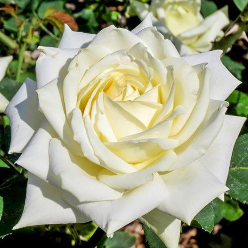 Роза чайно-гибридная Полярная звезда изображение 1 артикул 2132