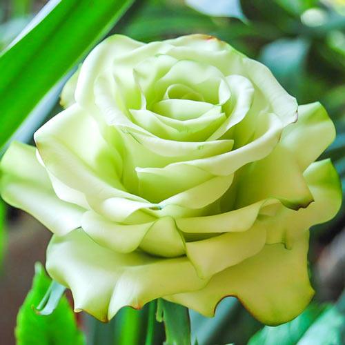 Роза чайно-гибридная Супер Грин изображение 1 артикул 2138