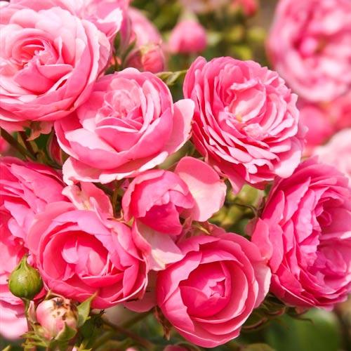 Роза флорибунда Помпонелла