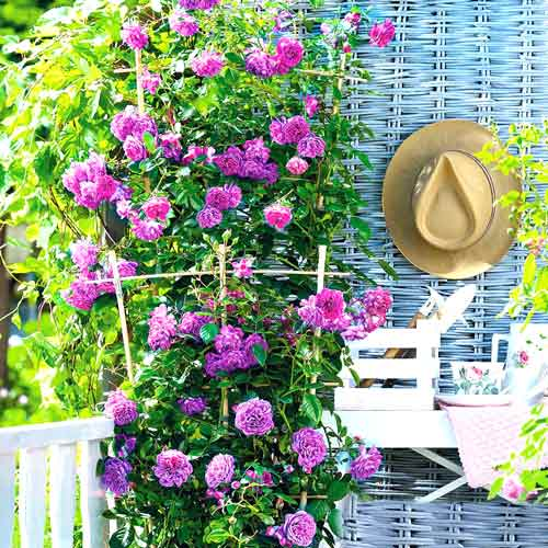 Роза плетистая Блю Мунн изображение 1 артикул 2153