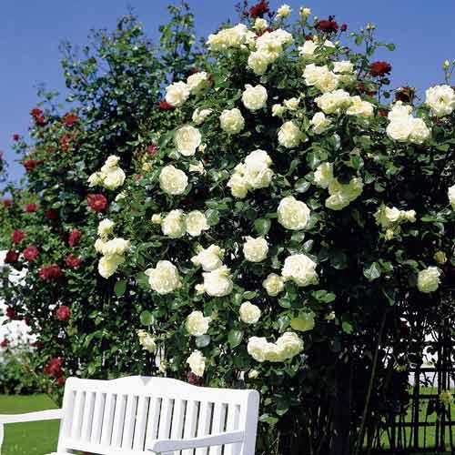Роза плетистая Мон Блан