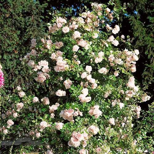 Роза плетистая Нью Доун изображение 1 артикул 2172