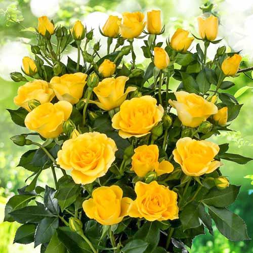 Роза спрей Сан Сити изображение 1 артикул 2240