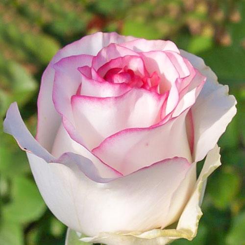 Роза чайно-гибридная Дольче Вита изображение 1 артикул 2117