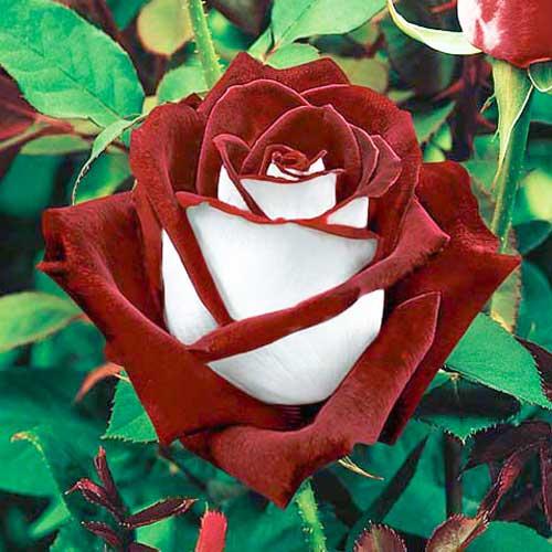 Роза чайно-гибридная Осирия изображение 1 артикул 2128