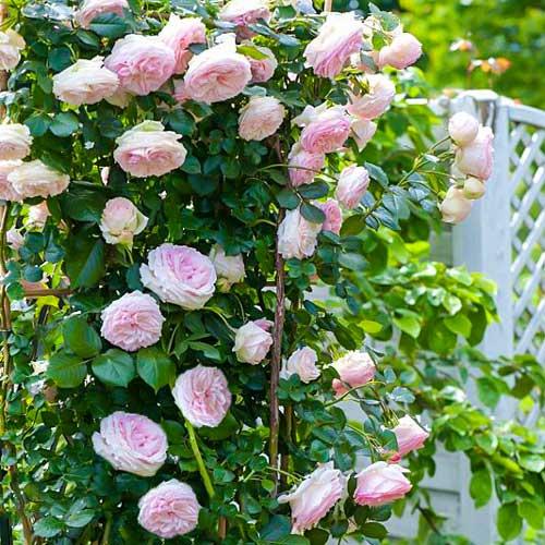 Роза плетистая Пьер де Ронсар изображение 1 артикул 2179
