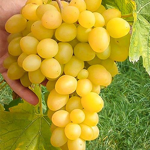 Виноград Макси белый изображение 1 артикул 7320