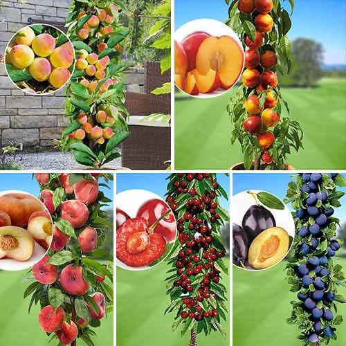 Суперпредложение! Комплект колоновидных деревьев Любимые фрукты из 5 саженцев изображение 1 артикул 1936