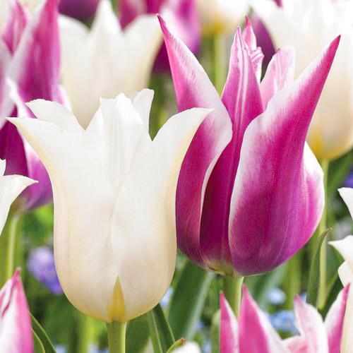 Суперпредложение! Комплект лилиецветных тюльпанов из 2-х сортов изображение 1 артикул 67915