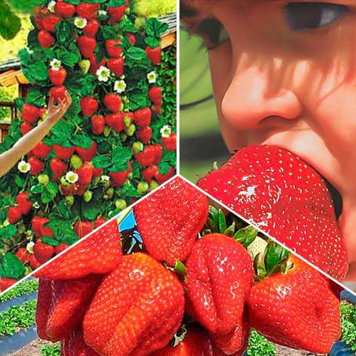 Суперпредложение! Комплект Большой урожай из 3 сортов земляники изображение 1 артикул 9827