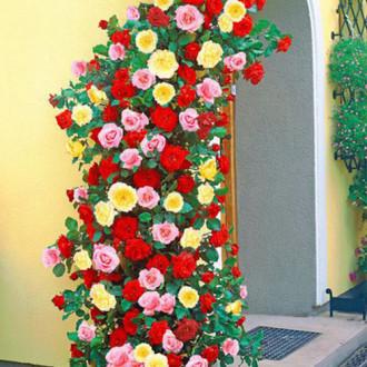 Суперпредложение! Комплект плетистых роз Триколор из 3 сортов