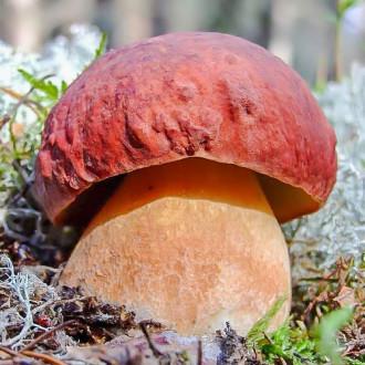 Белый гриб сосновый изображение 1