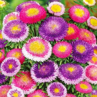 Астра Помпонная, смесь окрасок изображение 6