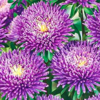Астра Си Старлет фиолетовая изображение 4