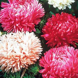 Астра Тауэр Рубиновый кубок, смесь окрасок изображение 6
