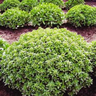 Базилик Гвоздичный аромат изображение 7