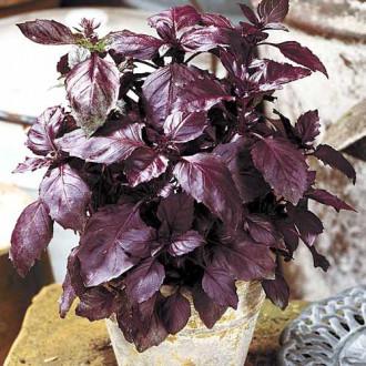 Базилик Карлик фиолетовый