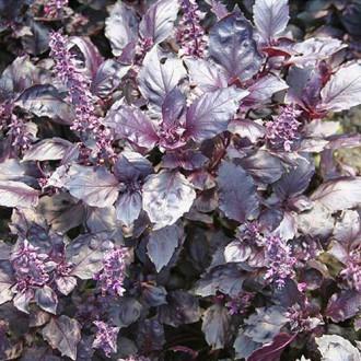 Базилик Раджа фиолетовый