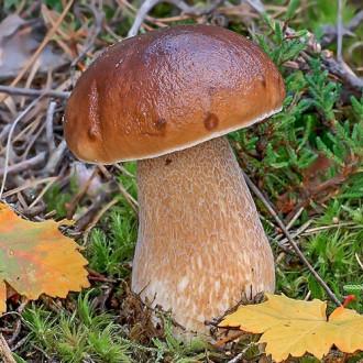 Белый гриб берёзовый изображение 2