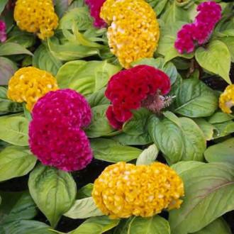 Целозия гребенчатая Коралловый сад, смесь окрасок изображение 2