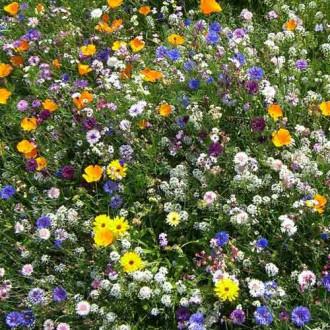 Газон цветущий Солнце Флоренции, смесь окрасок