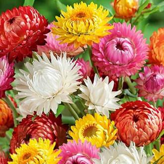 Гелихризум Великолепный, смесь окрасок изображение 3