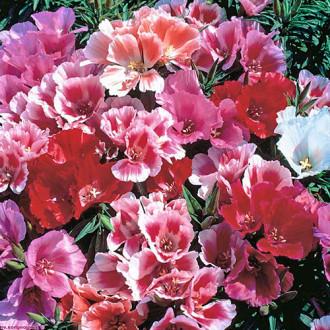 Годеция Майские розы, смесь окрасок изображение 7