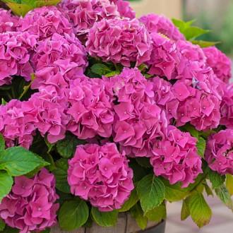 Гортензия крупнолистная Розовое чудо изображение 6