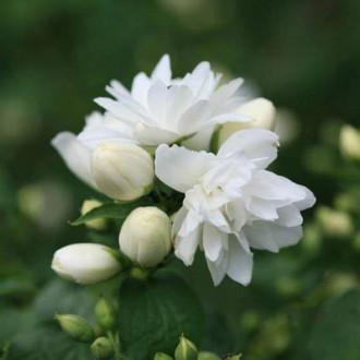 Жасмин садовый (чубушник) Шнеештурм