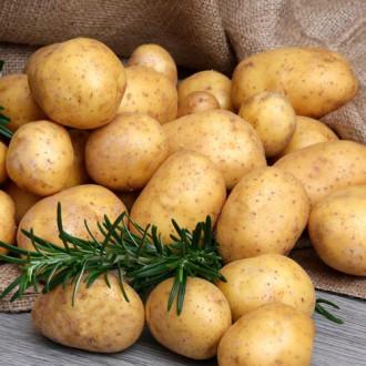 Картофель Гала изображение 1