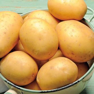 Картофель Колобок изображение 5